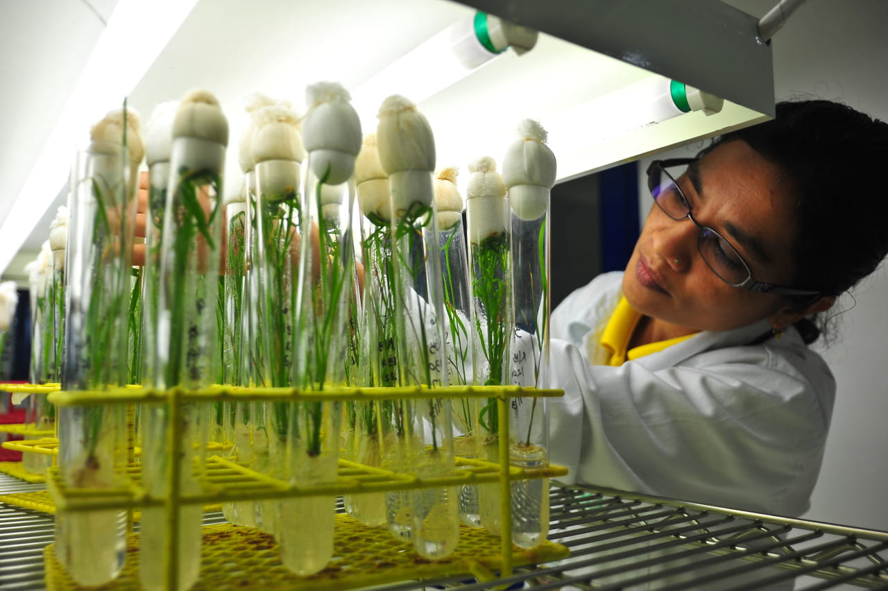 A plant scientist studying rice plants