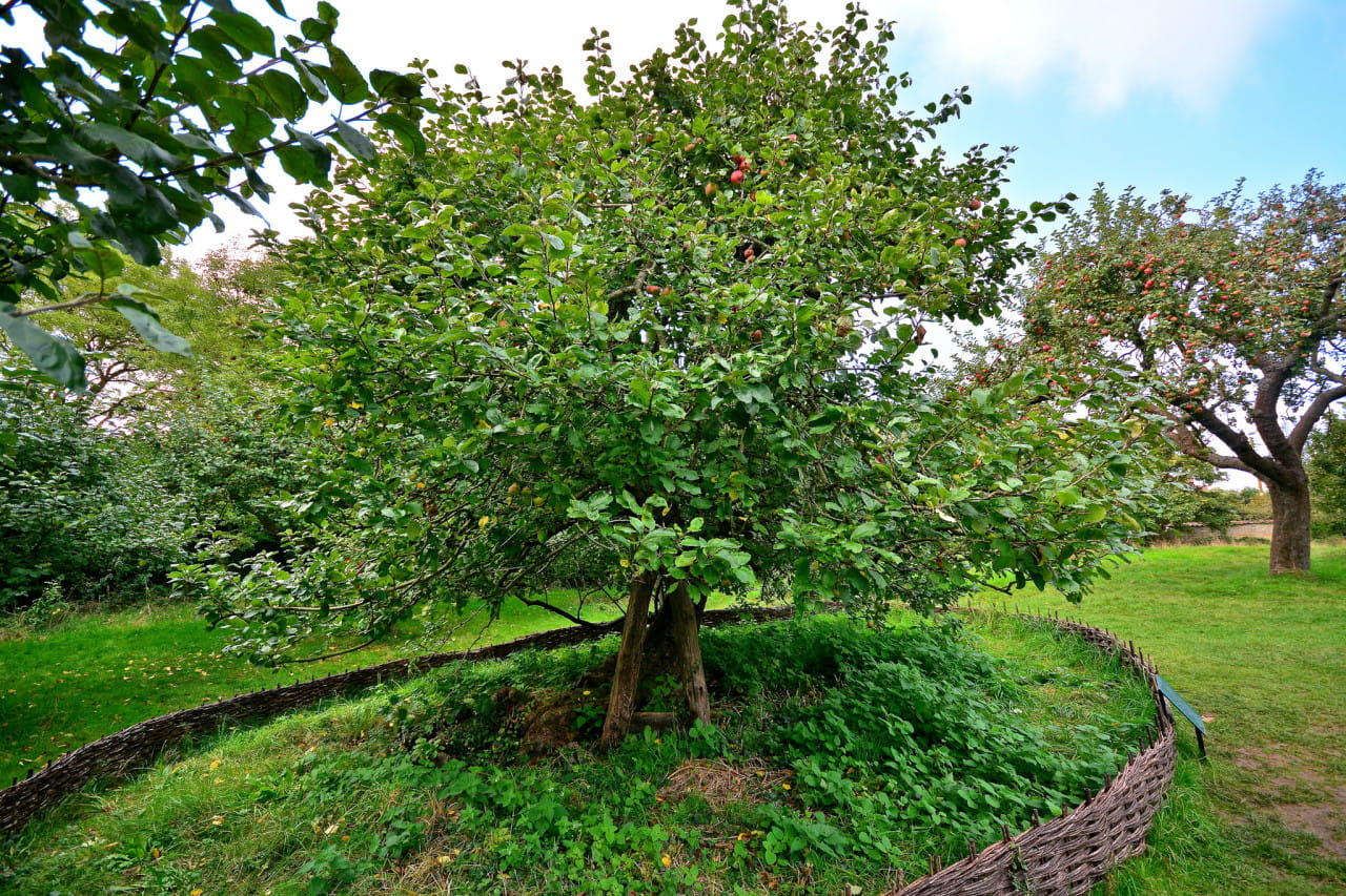 Newtons apple tree