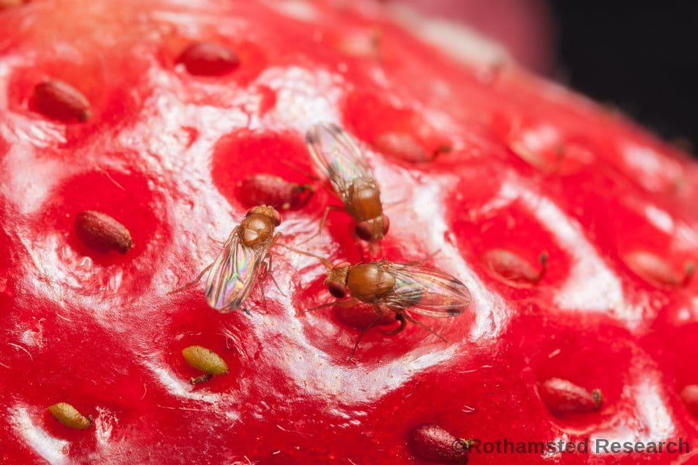 pests on strawberry
