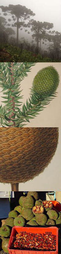 araucaria angustifolia.jpg - Adrian Mitchell (top) Stephen Harris, Oxford University Herbaria (middle two) University of Rio Grande do Sul (bottom)
