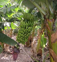banana plantation by Luc Viatour