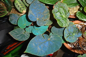 Begonia Pavonina, with its distinctive blue, iridescent leaves.
