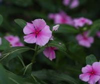 Madagascar periwinkle (Catharanthus) by Alison Foster