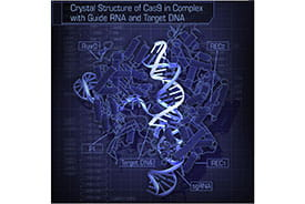 The CRISPR-associated endonuclease Cas9 can be targeted to specific genomic loci by single guide RNAs (sgRNAs).