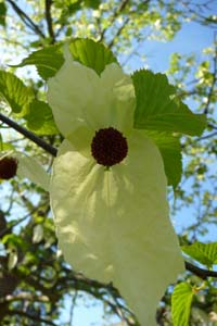 The flower of the handkerchief tree Davidia involucrata