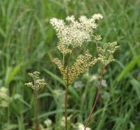 Filipendula photo by Lairich Rig, copyright CC-BY-SA