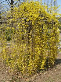 Forsythia_suspensa