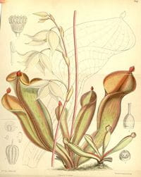 Heliamphora_nutans_hooker- out of copyright - http://commons.wikimedia.org/wiki/File:Heliamphora_nutans_Joseph_Dalton_Hooker_1890