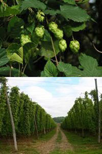 hops, photos by Evelyn Simak (upper) and Simon Carey (lower)