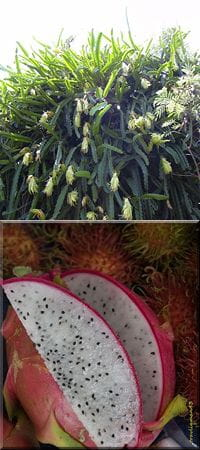 hylocereus undatus by Forest and Kim Starr, and below, dragonfruit from Wikipedia Commons