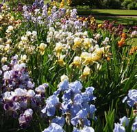 Iris Collection - Oxford Botanic Garden