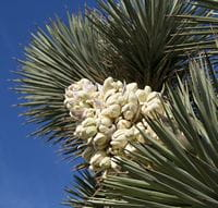 Joshua Tree panicle pictured by David Scriven