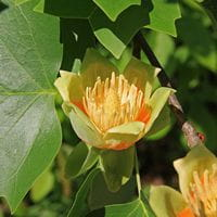 Liriodendron tulipifera pictured by Jane Shelby Richardson