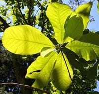 Magnolia leaves photo by Crusier