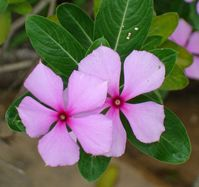 madagascar periwinkle picture by Eurico Zimbres