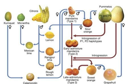 Genealogy of major citrus genotypes