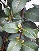 Camellia - Plant of the month December 2018