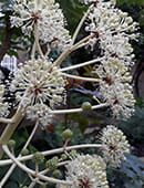 Fatsia in flower