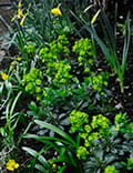 Euphorbia amygdaloides and Narcissus Carlton