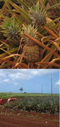 pineapple by Mr Toto and fields by Cumulus Clouds
