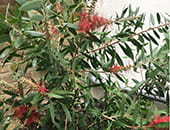 Melaleuca - plant of the month July 2019