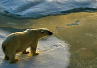 polar bear on ice