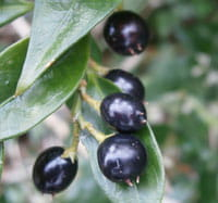 Sarcococca confusa fruits by Meneerke Bloem