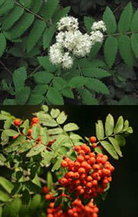 Sorbus aucuparia top picture by Rasbak and bottom by Pleple2000