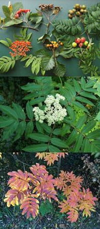 Sorbus sargentiana pictured (top) by Timothy Walker, others by MPF