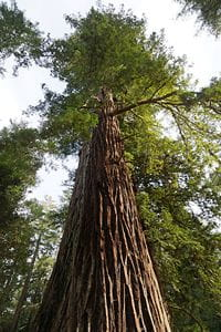 sequoia_sempervirens- Allie Caulfield - CC-BY