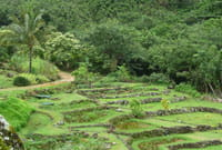taro terraces