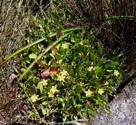 Villarsia capensis bush photo by Andrew Massyn