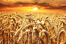 Rothamsted Research believes its GM wheat will produce higher yields.