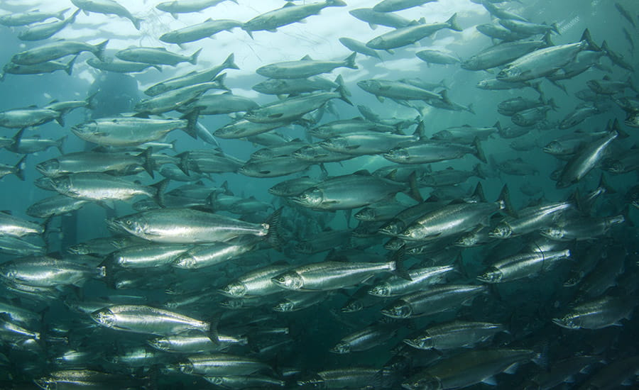SCIblog - Geoengineering: how much can technology help us combat climate change? - image of a school of fish