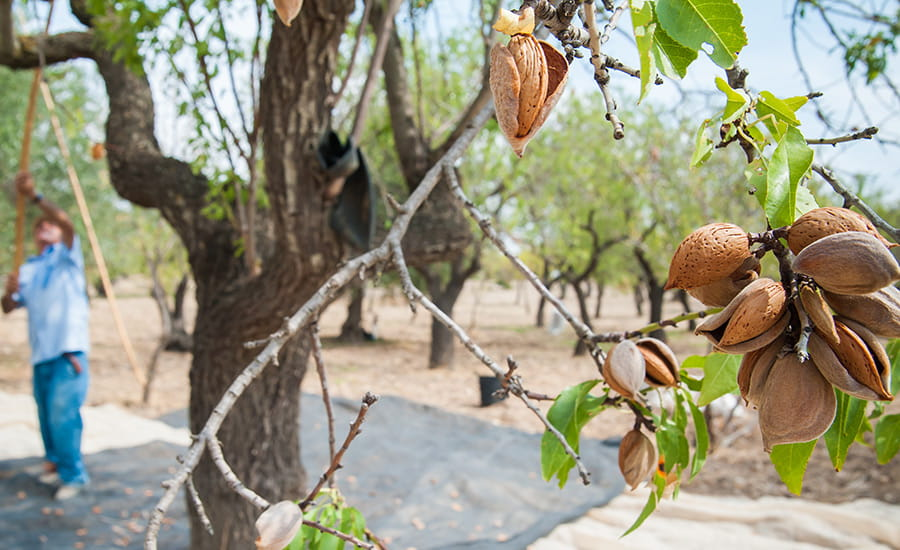 SCIblog 19 April 2021 - How thirsty is your food? - image of almond farm, almond harvesting