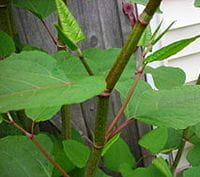 Knotweed – Andrea